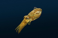 Little Cuttlefish - Sepiola atlantica