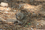 ground squirel eating