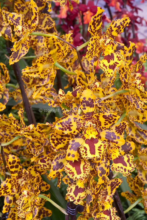 Colmanara aka Odontocidium Wildcat orchid in wild patterns . Correct genus is now Oncostele. Oncostele Wildcat.