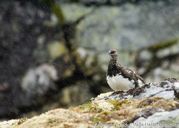 Fjellrype i regn og sludd ---- Rock ptarmigan in rain