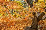 Japanese Maple in the Arnold Arboretum, Boston, MA