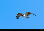 Osprey Hunting, Sepulveda Wildlife Refuge, Southern California