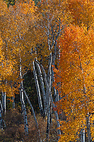 Quaking Aspen (Populus tremuloides) in Teton National Park Wyoming,fall.