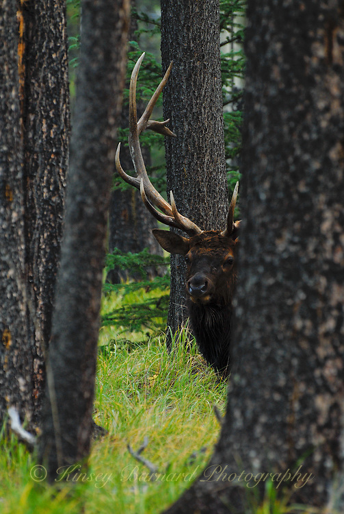 Bull elk peeking round the trees. Jasper National Park Alberta Canada