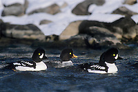 537109029 a wild flock of barrows goldeneye ducks bucephala aslandica swim together during winter on the firehole river in yellowstone national park wyoming