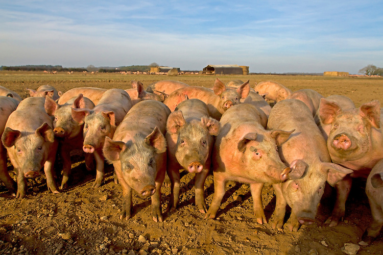 Young pigs in field, Norfolk