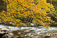 Autumn maple along Middle Prong of Little River, Tremont
