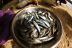 Sardines in a steel bowl at Bagaman Island in the  Louisiade Archipelago..The Louisiade Archipelago is a string of ten larger volcanic islands frequently fringed by coral reefs, and 90 smaller coral islands located 200 km southeast of New Guinea, stretching over more than 160 km and spread over an ocean area of 26,000 km  between the Solomon Sea to the north and the Coral Sea to the south. The aggregate land area of the islands is about 1,790 kmu178  (690 square miles), with Vanatinai (formerly Sudest or Tagula as named by European claimants on Western maps) being the largest..Sideia Island and Basilaki Island lie closest to New Guinea, while Misima, Vanatinai, and Rossel islands lie further east..The archipelago is divided into the Local Level Government (LLG) areas Louisiade Rural (western part, with Misima), and Yaleyamba (western part, with Rossell and Tagula islands. The LLG areas are part of Samarai-Murua District district of Milne Bay. The seat of the Louisiade Rural LLG is Bwagaoia on Misima Island, the population center of the archipelago. .The Louisiade Archipalego is part of the Milne Bay province of Papua New Guinea..It lies between approximately 10 degrees south and 11.5 degrees south, and 151 degrees east and 154 degrees east. It is an area of Islands, reefs and cays some 200 nm long and 50 nm wide, stretching from the south east tip of mainland Papua New Guinea in a east south east direction..