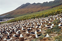 Black-browed albatross (Thalassarche melanophris) nesting rookery, Falkland Islands