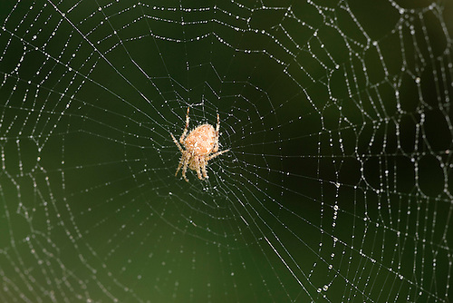 Garden Spider In Web - Araneus diadematus