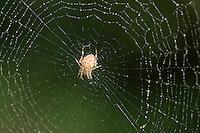 Garden Spider In Web - Araneus diadematus