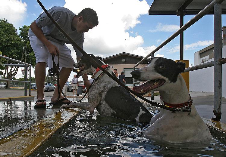 Greyhound racing at tghe Naples-Ft. Myers Greyhound Trsck in Bonita Springs. Erik Kellar/Staff