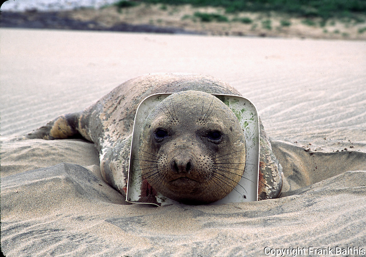 Elephant seal yearling with toilet seat on neck