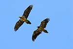 Lammergeier or Bearded Vultures in flight. Ordesa y Monte Perdido national park, Aragon,Pyrenees, Spain.