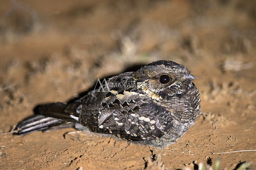 The Fiery-necked nightjar is commonly seen near roads at night.