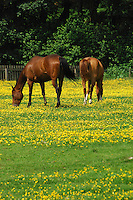 Chestnut horses in a field full of buttercups Ranunculus acris, Dunsop Bridge, Lancashire....Copyright..John Eveson, Dinkling Green Farm, Whitewell, Clitheroe, Lancashire. BB7 3BN.01995 61280. 07973 482705.j.r.eveson@btinternet.com.www.johneveson.com