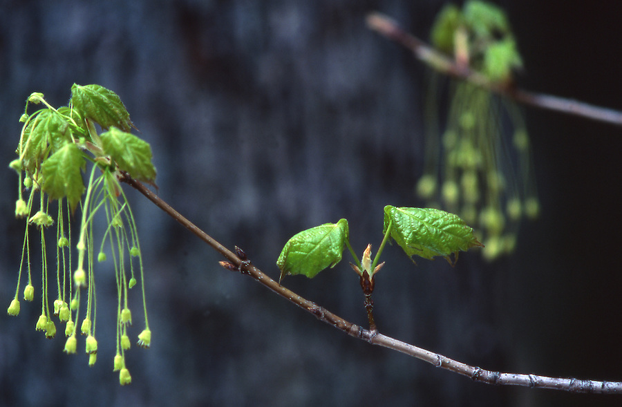 Penn's woods, infant sugar maple leaf, springtime Spring, Pennsylvania