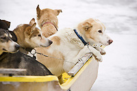 Dropped dogs wait in a sled to be loaded into the PenAir caravan plane at Nikolai on Wednesday during Iditarod 2008