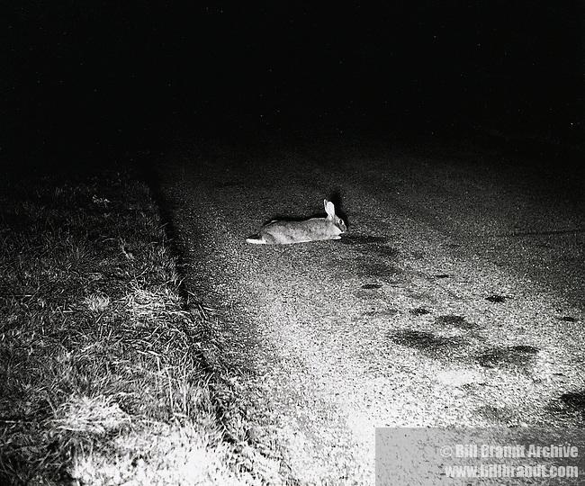 Rabbit caugt in car's headlights