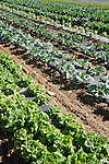 Field of vegetables. Nippenose Valley. Salad bowl lettuce