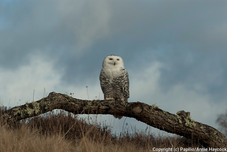 Snowy owl (Nyctea scandiaca) adult female perched on log