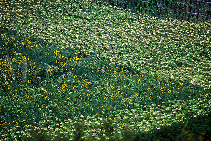 Pattern created by thousands of sunflowers in field.  Lussan, Provence, France.