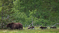 Grizzly Bear sow 399 and her three cubs in summer of 2011.