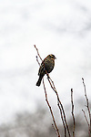 Red-winged blackbird (female), Fern Hill Wetlands, Oregon