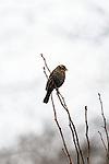 Red-winged blackbird (female), Fern Hill Wetlands, Oregon