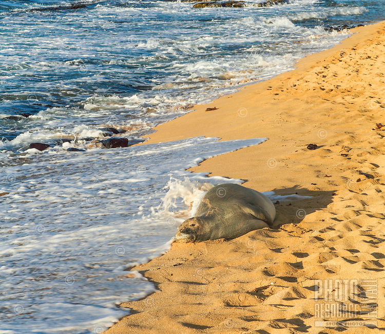 A resting Hawaiian monk seal gets splashed by a wave at Ho'okipa Beach on Maui.