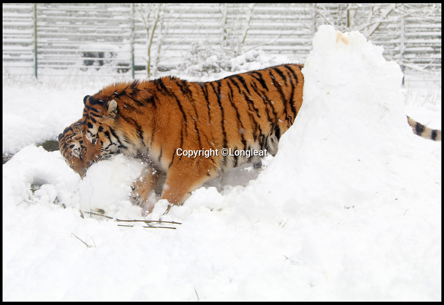 BNPS.co.uk (01202 558833)<br /> Pic: IanTurner/Longleat/BNPS<br /> <br /> High Tackle! - Longleats new Amur Tigers get to grips with a snowman in their enclosure at Longleat Safari Park.<br /> <br /> And there was only one winner as the unfortunate snowmans head was sent tumbling from the big cats tackle.