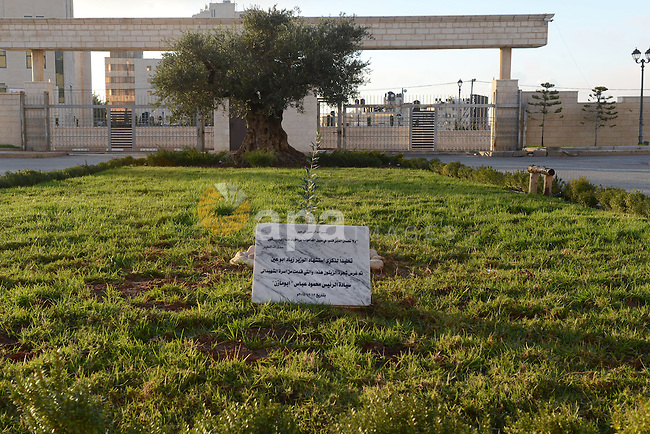 The last olive tree sapling planted by the Palestinian Cabinet member Ziad Abu Ain, is seen after it was transferred to al-Moqata'a, the headquarter of Palestinian President Mahmoud Abbas, in the West Bank city of Ramallah, December 14, 2014. A minister in the Palestinian Authority, Ziad Abu Ein, has died while leading a group of Palestinians last Wednesday to plant olive trees near the village of Turmusayya, after being beaten by Israeli security forces and inhaling tear gas during a protest in the occupied West Bank, witnesses said. Photo by Thaer Ganaim