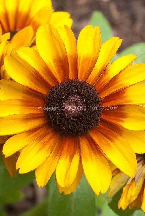 Rudbeckia hirta 'Toto Mix', Gloriosa daisy, black-eyed Susan flower, one colour