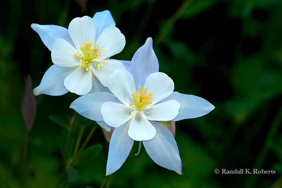 columbine flower duo colorado  randall k. roberts, Beautiful flower