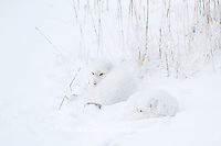 01863-01508 Arctic Foxes (Alopex lagopus) curled up along bank in snow Churchill Wildlife Management Area, Churchill, MB