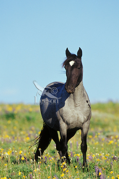 Wild horse mare stands in meadow covered with wildflowers.  Western U.S., summer..(Equus caballus)