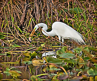 Great Egret in breeding colors standing in water with  a fish in it's beak