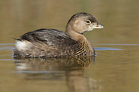 Pied-billed Grebe - Podilymbus podiceps - non-breeding adult