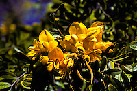 Mamane flowers (sophora chrysophylla) growing on mauna kea at an elevation of 8800.