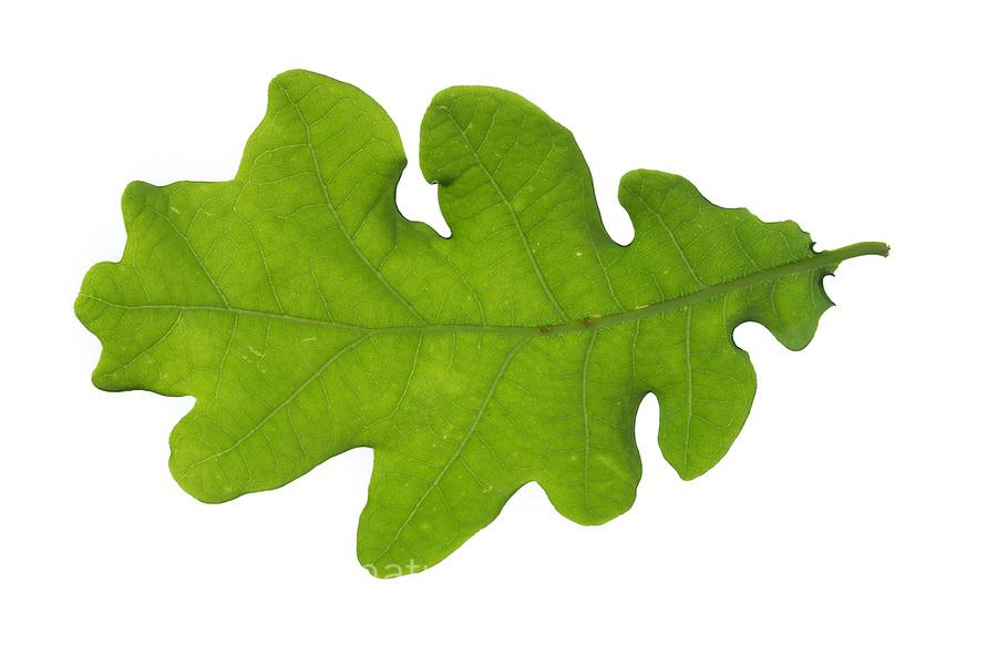 Stiel-Eiche, Eichen, Stieleiche, Eiche, Quercus robur, Quercus pedunculata, English Oak, pedunculate oak, Le chêne pédonculé. Blatt, Blätter, leaf, leaves, Blattunterseite