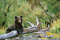 Brown bear spring cub rest on a log while his mother fishes. Ursus arctos, Alaska Peninsula, Alaska, USA, Katmai National Park,