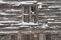 stuffed deer head in open window of historic wooden building during blizzard in Rimini
