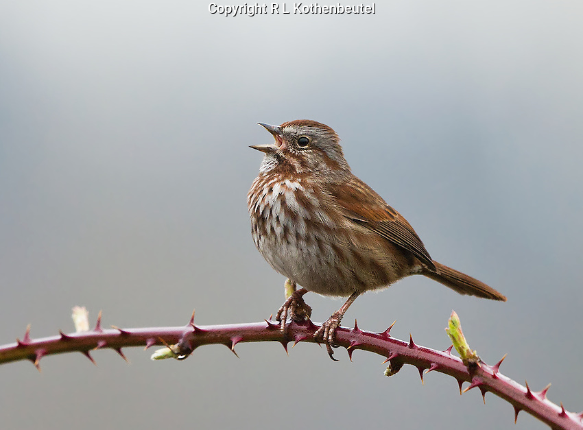 Male song sparrow, Pacific Northwest race, singing from a blackberry vine on a foggy morning.<br />