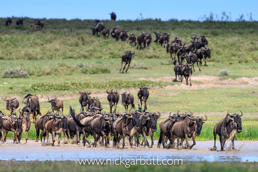 Herds of white-bearded wildebeest (Connochaetes taurinus albojubatus) crossing lake shallows on migration, Ngorongoro Conservation Area / Serengeti National Park, Tanzania, East Africa