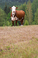 Bull Calf Brown and white Smaland region. Sweden, Europe.