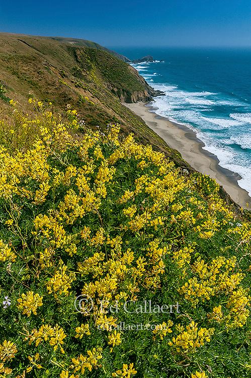 Yellow Bush Lupine, Tomales Point, Point Reyes National Seashore, Burton Wilderness, Marin County, California