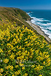 Yellow Bush Lupine, Tomales Point, Point Reyes National Seashore, Burton Wilderness, Marin County, California