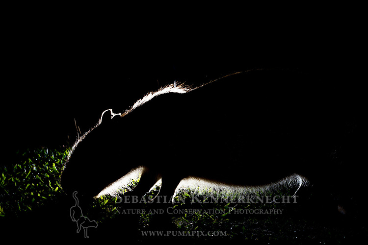 Capybara (Hydrochoerus hydrochaeris) juvenile grazing at night, Ibera Provincial Reserve, Ibera Wetlands, Argentina
