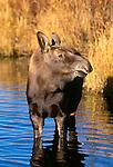 Moose calf, Grand Teton National Park, Wyoming