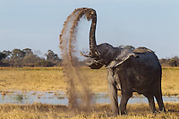 Elephant cow throwing up dust in a beautidfully arched double dust trail